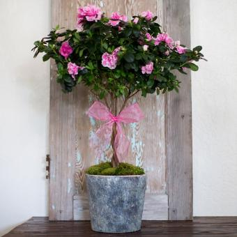 Pretty in Pink Azalea Topiary